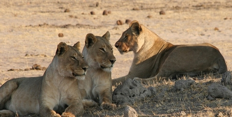 Safari Lions (Copy)